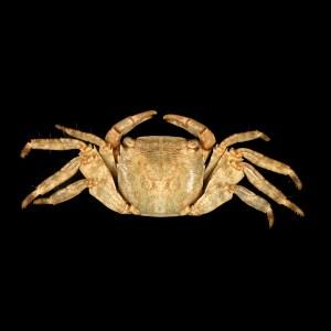 Pachygrapsus