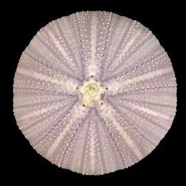 Toxopneustes gratilla Linnaeus, 1758