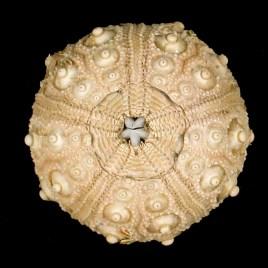 Stylocidaris affinis Philippi, 1845