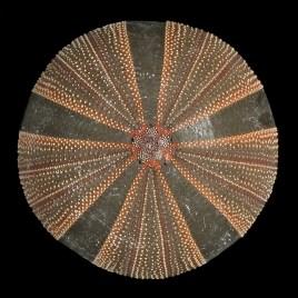 Mespilia globulous Desor, 1846