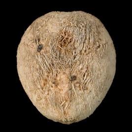 Echinocardium cf. pennatifidum Norman, 1968
