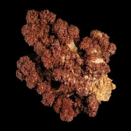 Alcyonidae species