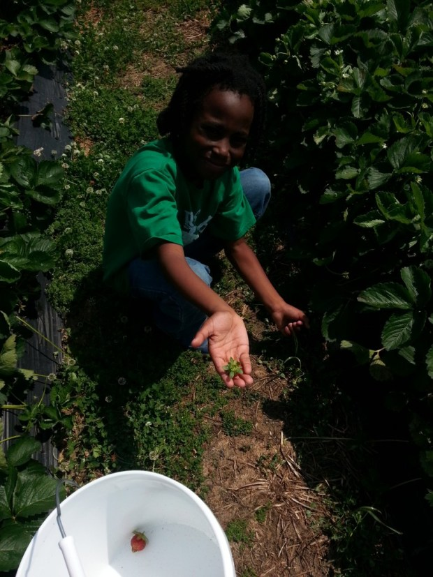 Strawberry Patch Picking