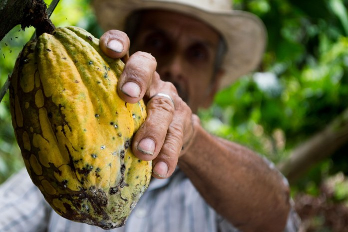 Man picking cocoa