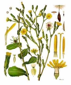 wild-lettuce-opium