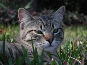 file000545729422 300x225 What to feed cats with feline IBS, diarrhea, or frequent hairballs