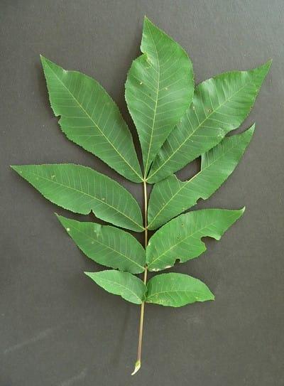 Lobed 5 Leaf Maple Bush
