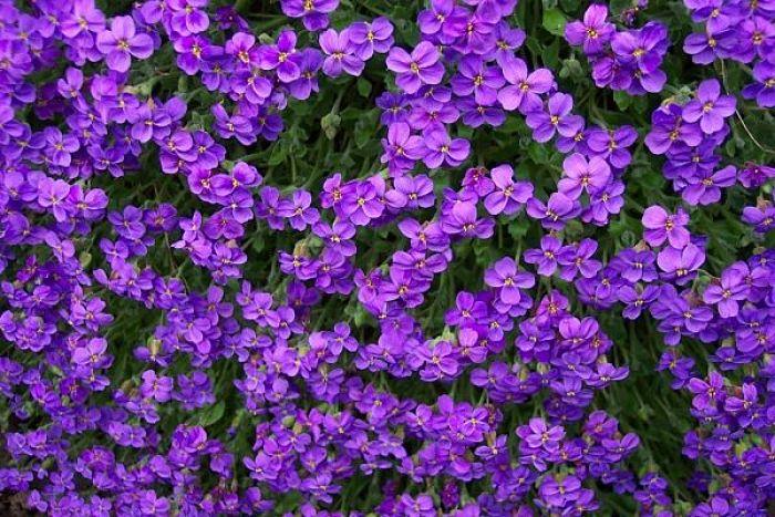 flores-violeta