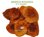 Natural Ether Website Images AMANITA MUSCARIA 2