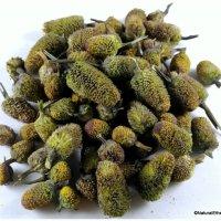 Spilanthes Acmella (toothache plant)