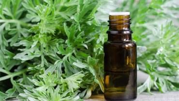 11 Amazing Health Benefits of Mugwort Essential Oil