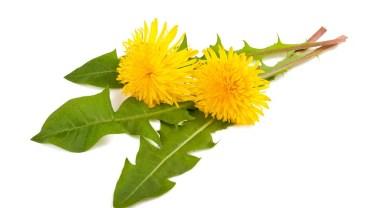 13 Surprising Benefits of Dandelion