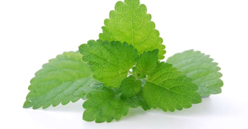 13 Amazing Health Benefits of Lemon Balm