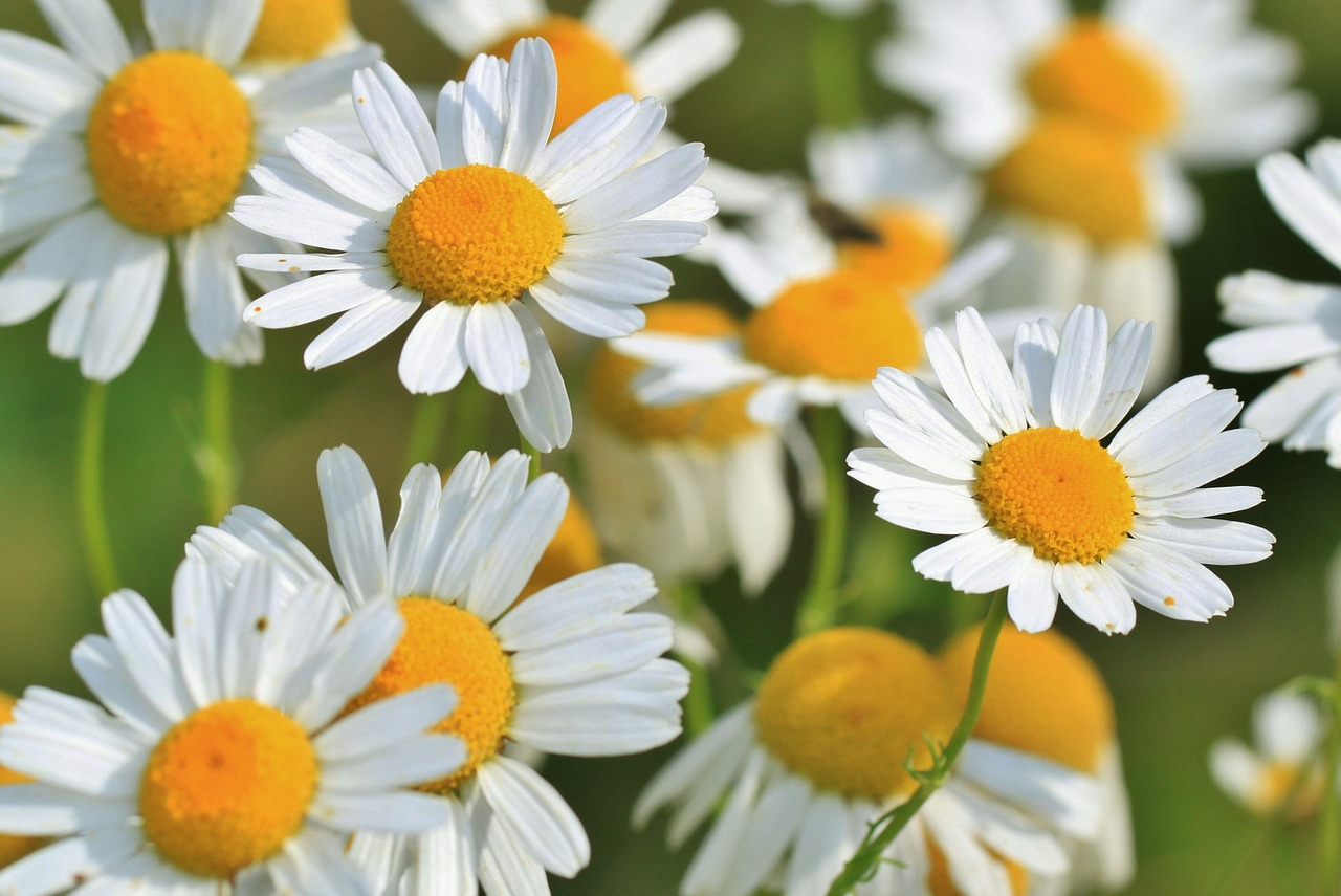 Natural Remedies For Insomnia - Chamomile Flower