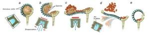 Spore Launchers | Natural History Magazine