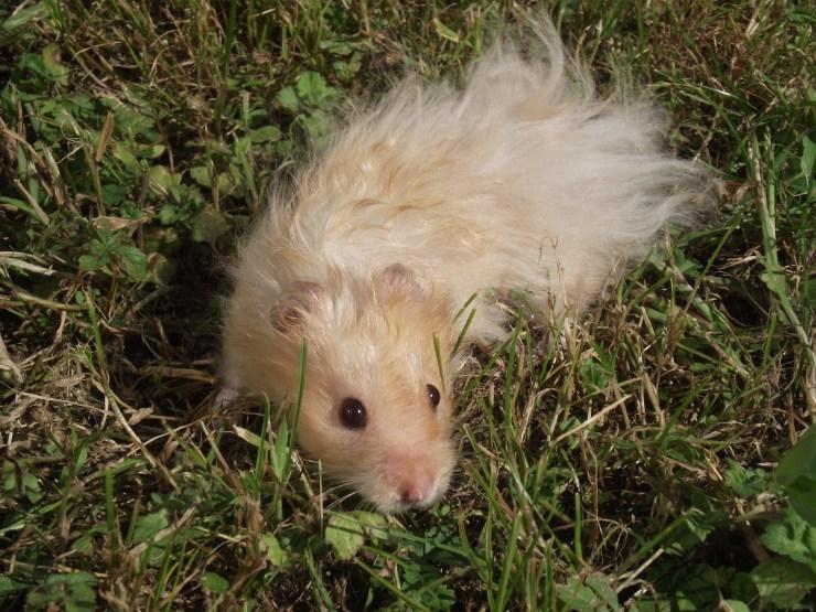 hamster_dore_angora_beige
