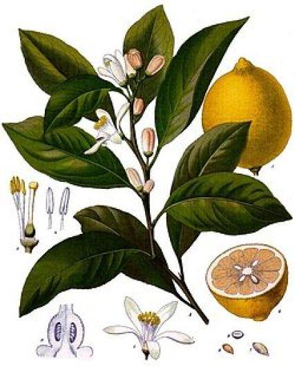 250px-Citrus_x_limon_-_Köhler–s_Medizinal-Pflanzen-041