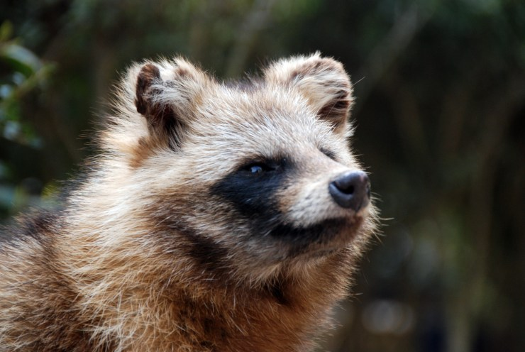 raccoon_dog_2_by_harlequitmix