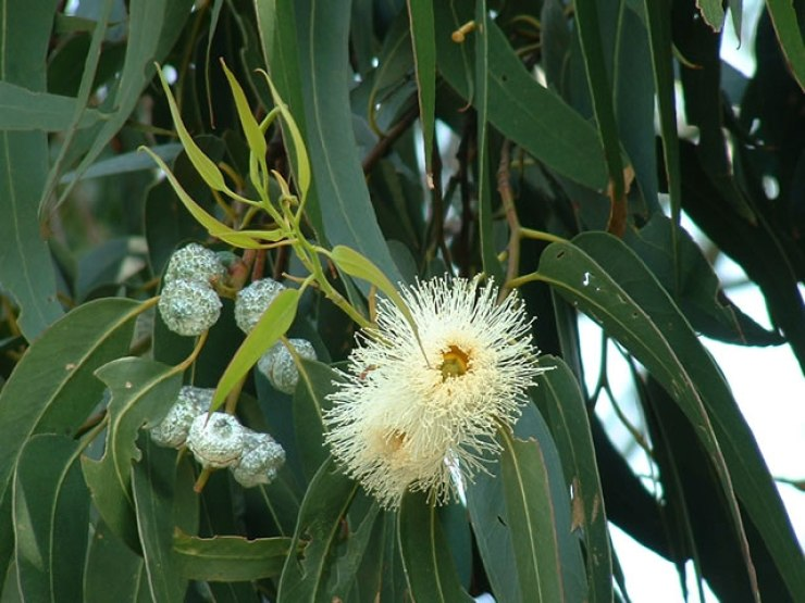 ramo di eucalipto