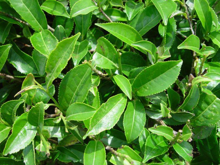foglie di camellia (Te verde)