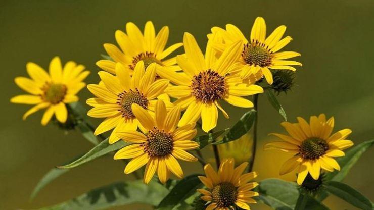 fiori gialli di arnica montana