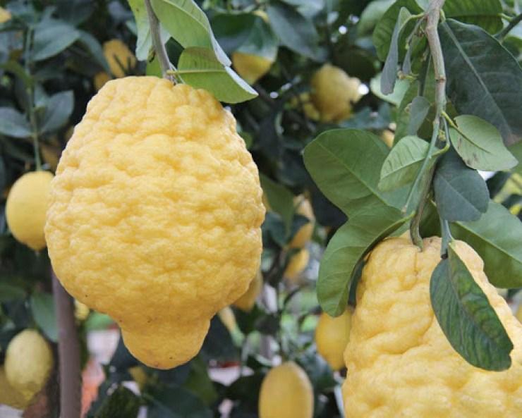cedro (frutto)