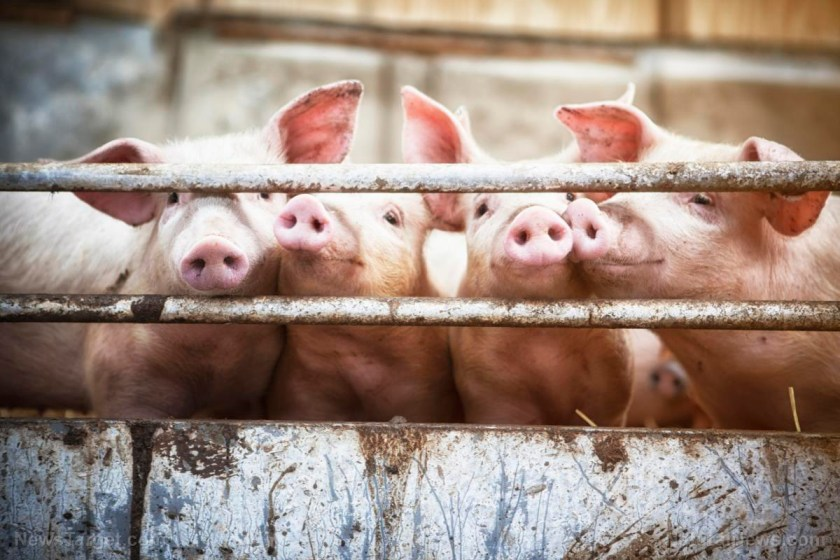 "Image: Japanese ban on creating human organs in animals to be lifted; ""transplant farms"" to mass produce organs for disease-ridden humans?"