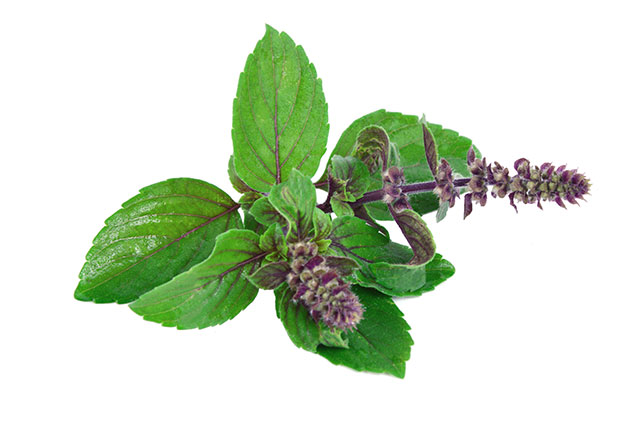 Image: The in vitro anti-cancer activities of Ocimum sanctum leaf extracts (holy basil)