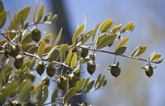jojoba-oil-for-hair-growth
