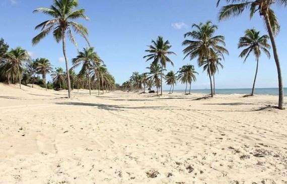 coconut-trees