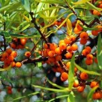 Seal in Moisture More Effectively with Sea-buckthorn Oil