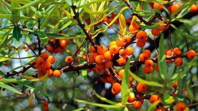 sea-buckthorn-oil