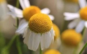 chamomile-for-hair-gel