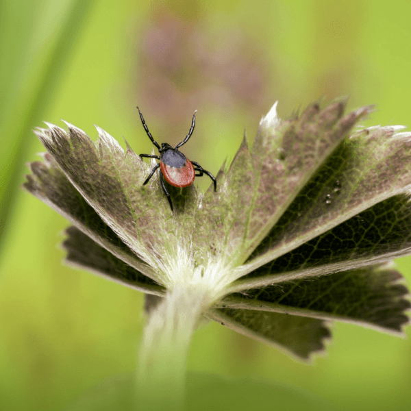 Learning Lyme: Treatments for Lyme Disease