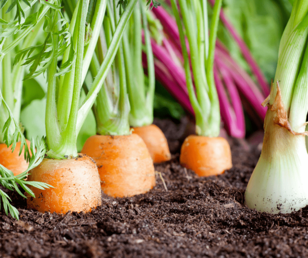 close-up of carrots growing in soil, growing organic vegetable gardens