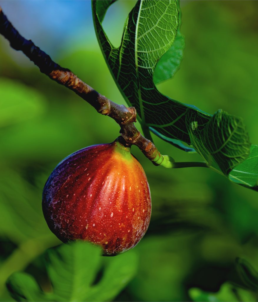 Fig tree - planting, pruning and harvesting figs, and why it doesn't bear  fruit