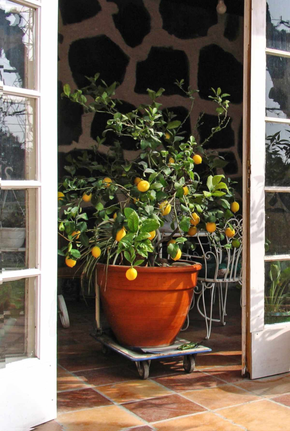 potted lemon trees care pruning and