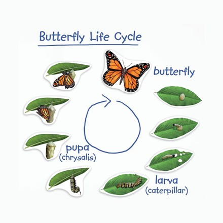 Image result for life stages of a butterfly