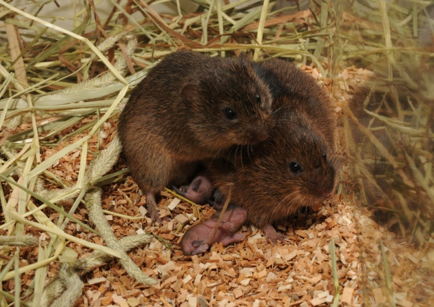 http://www.nature.com/news/gene-switches-make-prairie-voles-fall-in-love-1.13112