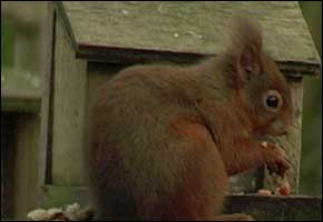 Red Squirrel - Cumbria