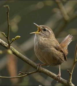 Wren Credit: Sue Tranter, RSPB Images