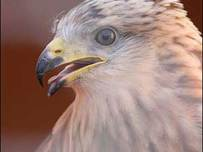 Red Kite Pic- Forestry Commission