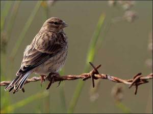 Linnet Carduelis cannabina (female or immature bird), perched on barbed wire fence. Pic Andy Hay (rspb-images.com)