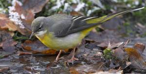 Grey Wagtail. Pic Mike Read (rspb-images.com)