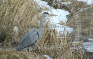 Grey Heron on River Eden