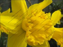 Farndale's wild daffodils look set to begin blooming in time for the start of the popular daffodil shuttle bus