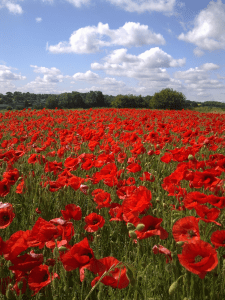 Poppies. Heartwood Forest. WTPL-Louise Neicho