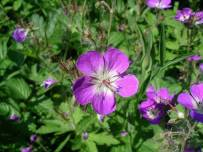 Wood crane's-bill is one of the plants to return to the North Pennines (NPAP)