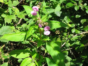 Himalayan Balsam is a non-native plant