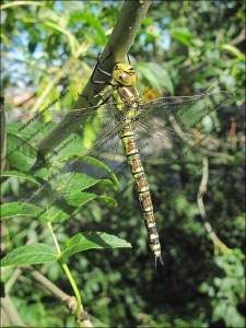 Is this a Southern Hawker dragonfly in north Cumbria